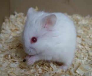 Campbells Dværghamster Albino farve | HamsterPaletten.dk